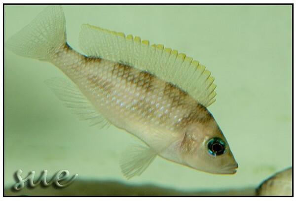 Lamprologus caudopunctatus - Moliro