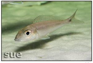 Grammatotria lemairii - Katete - Male