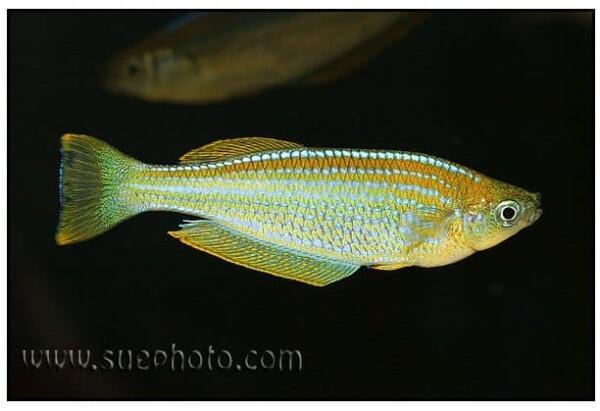 Lamprichthys tanganicanus - Tanganyika Killifish