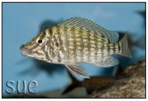 Lobochilotes labiatus - Chaitika