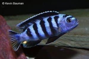 Pseudotropheus