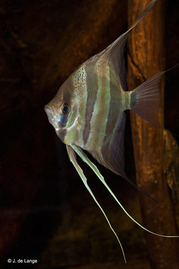 Pterophyllum altum - Altum Angelfish