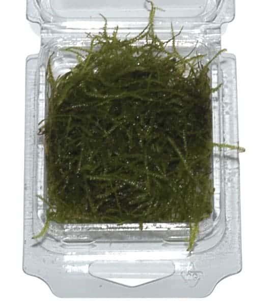 Taxiphyllum barbieri - Java Moss in box