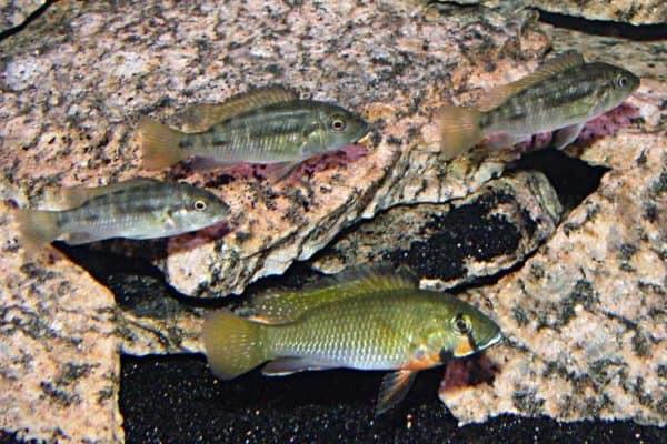 Thoracochromis brauschi - Man_omringd_door 3 vrouwen