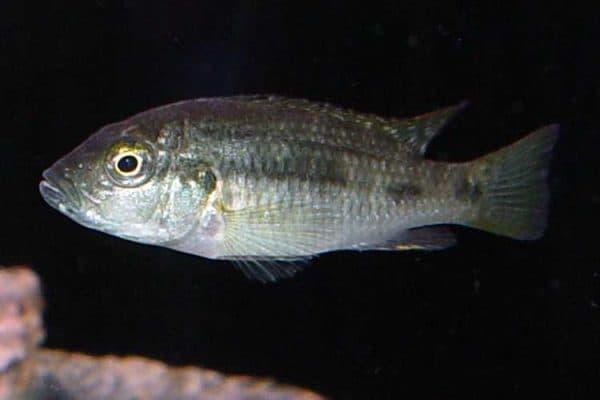 Thoracochromis brauschi - Vrouw