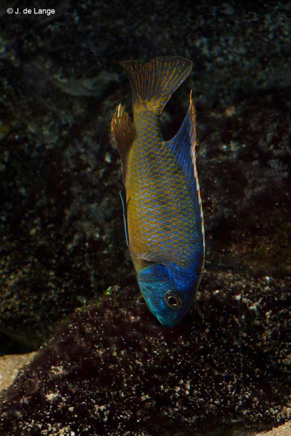 Otopharynx sp. BigSpot - Male