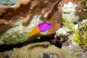 Pictichromis paccagnellae - Bicolor Dottyback
