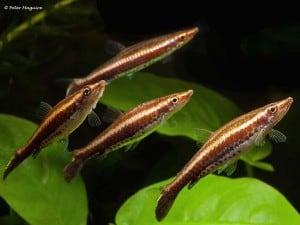 Lebiasinidae