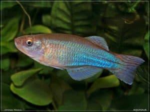 Procatopus aberrans - Ossing