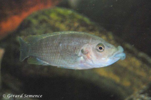 Abactochromis labrosus - Female