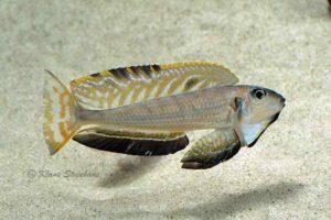 Enantiopus melanogenys - Flaring