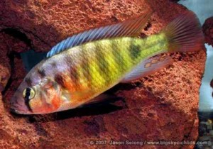 "Pundamilia sp. ""redhead"" - Male"