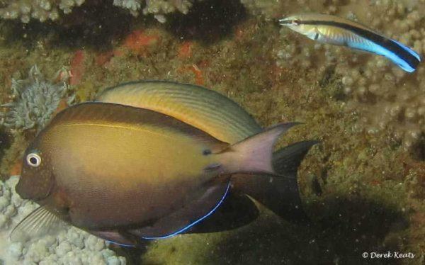 Acanthurus nigrofuscus - Brown Surgeonfish