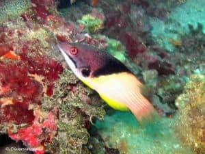 Bodianus mesothorax - Splitlevel Hogfish - Adult