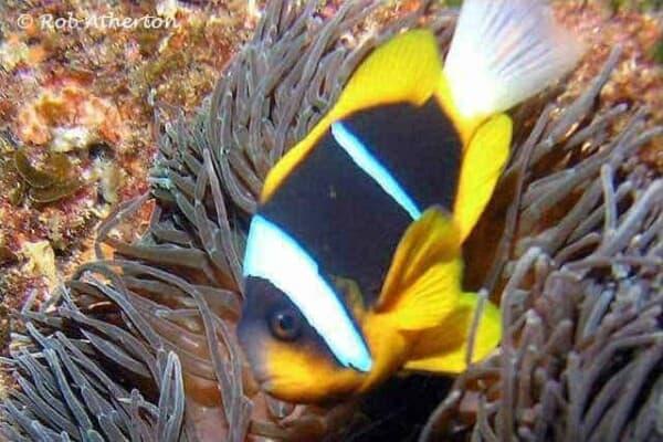 Amphiprion allardi - Twobar Anemonefish