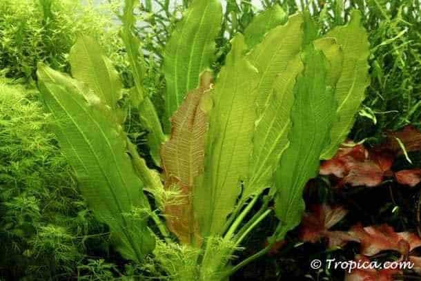 Echinodorus osiris in het aquarium