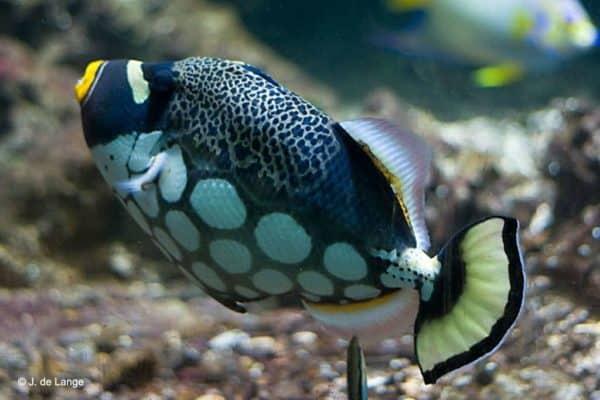 Balistoides conspicillum - Clown Triggerfish