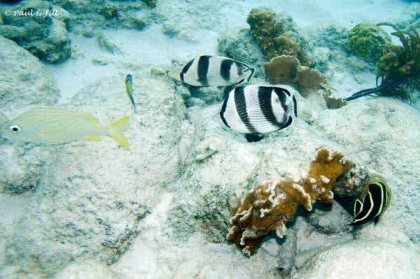 Chaetodon striatus - Banded Butterflyfish - Pair