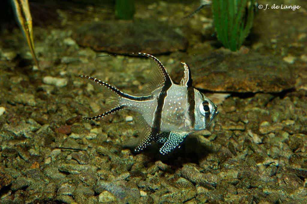 Pterapogon kauderni - Banggai Cardinalfish