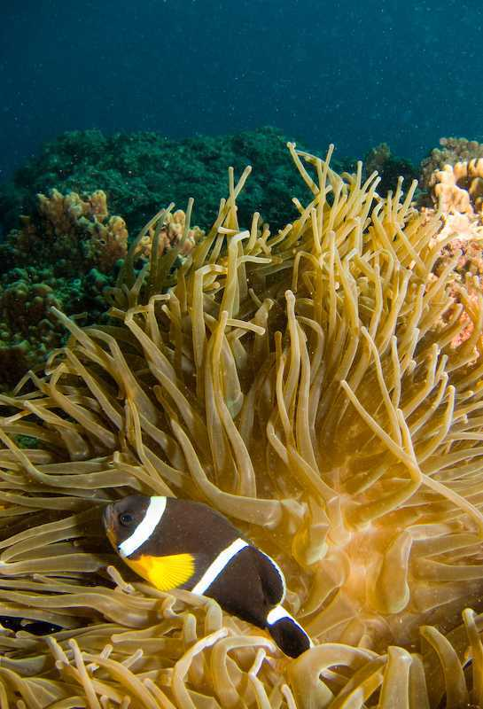 Amphiprion chrysogaster - Mauritian Anemonefish