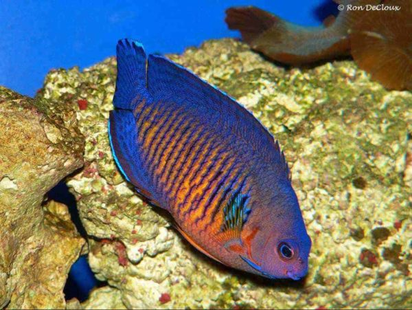 Centropyge bispinosa - Twospined Angelfish