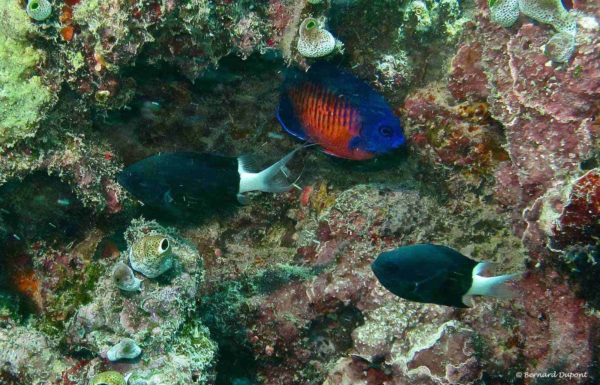 Centropyge bispinosa and two Chromis margaritifer