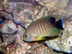 Centropyge eibli - Blacktail Angelfish