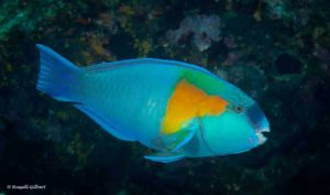 Chlorurus bowersi - Bower's Parrotfish