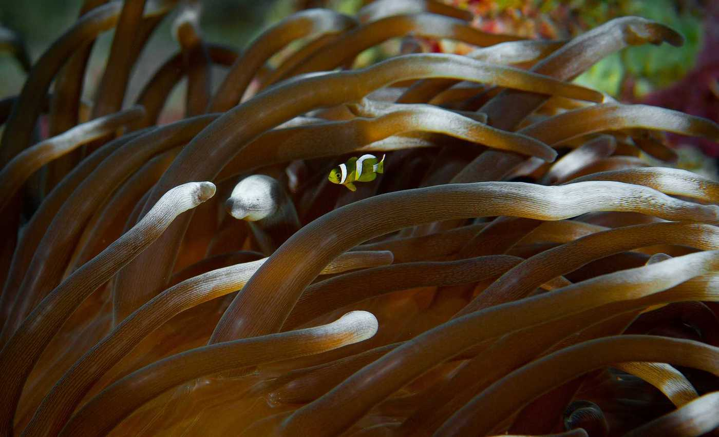 Macrodactyla doreensis with Amphiprion clarkii juvenile
