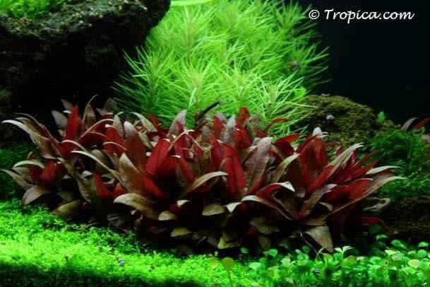 Alternanthera reineckii - Mini in het aquarium
