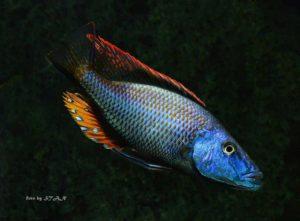 Dimidiochromis