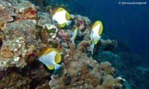 Hemitaurichthys polylepis - Pyramid Butterflyfish