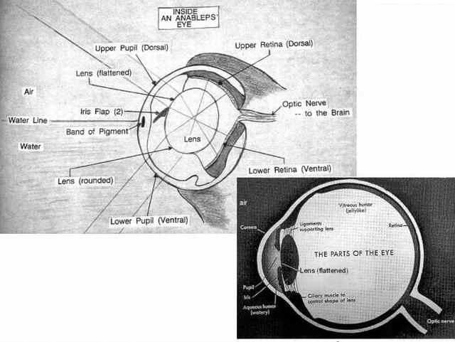 Anableps anableps oog links - Menselijk oog rechts