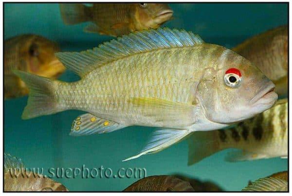 Petrochromis fasciolatus - Red Eye Ikola