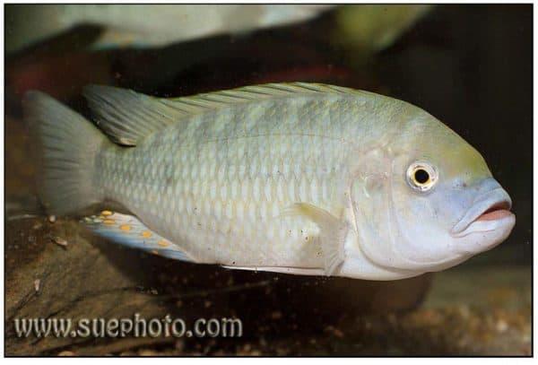 Petrochromis fasciolatus Katete