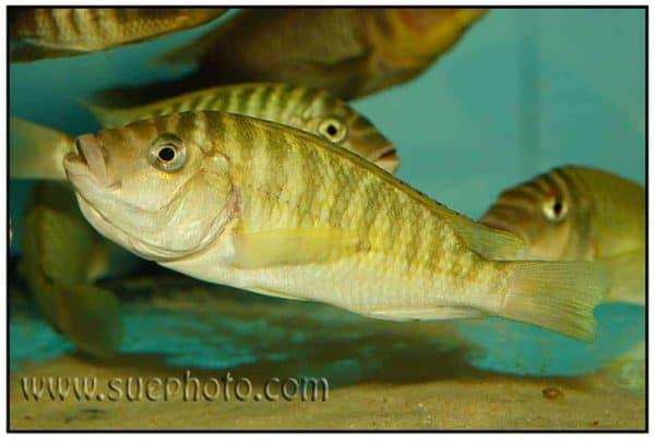 Petrochromis fasciolatus