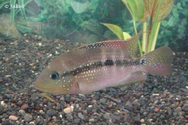 Cribroheros alfari - Pastel Cichlid