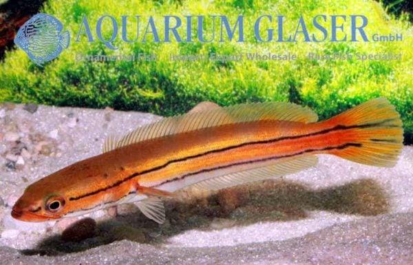 Channa diplogramma - Malabar Snakehead 1