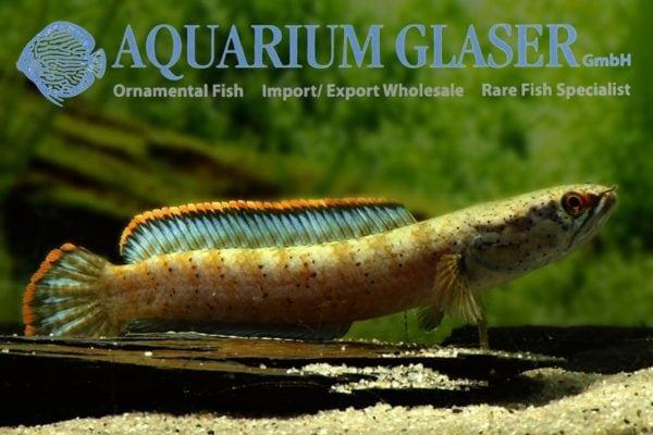 Channa gachua - Brown Dwarf Snakehead 6