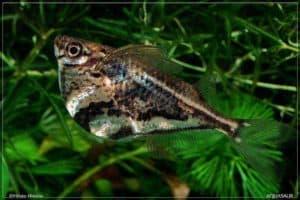 Gasteropelecidae