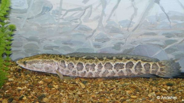 Channa argus - Northern Snakehead