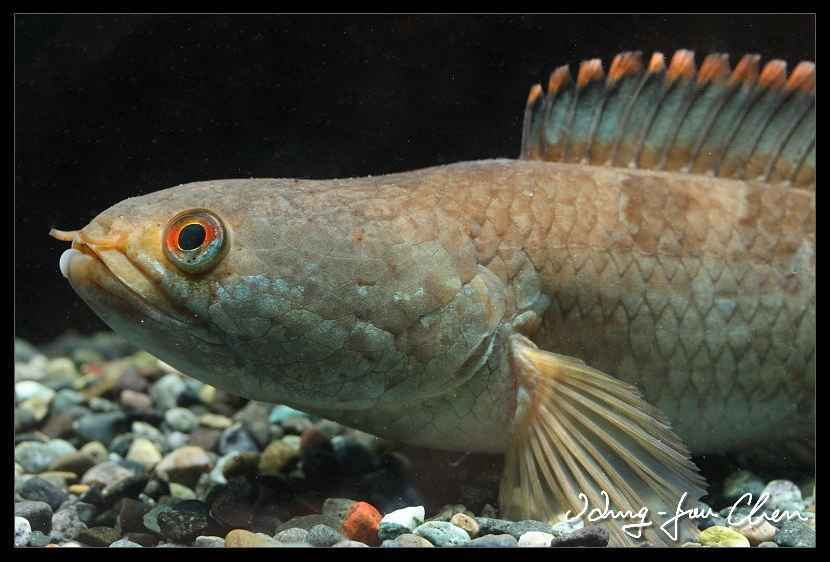 Channa gachua - Brown Dwarf Snakehead - AquaInfo