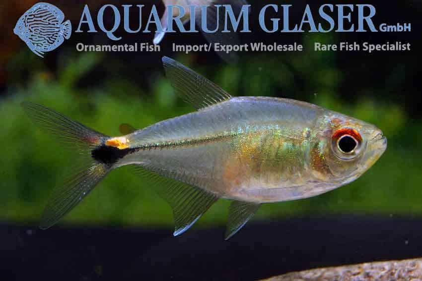 Hemigrammus Ocellifer Head And Taillight Tetra Aquainfo