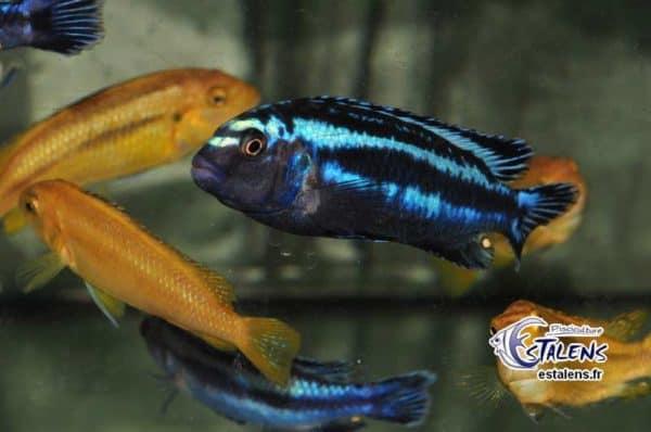 Pseudotropheus johannii - Bluegray Mbuna