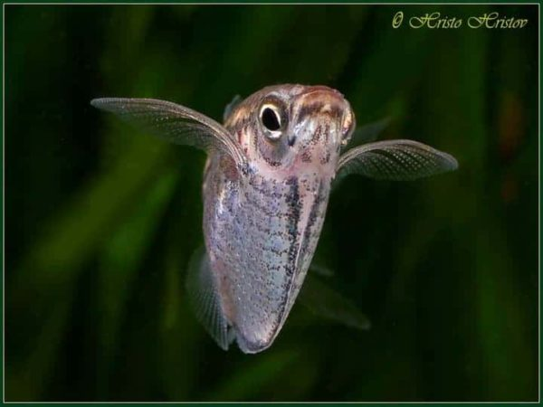 Carnegiella marthae - Blackwing Hatchetfish