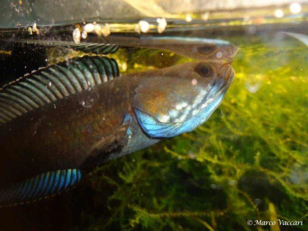Channa andrao - Male breeding eggs