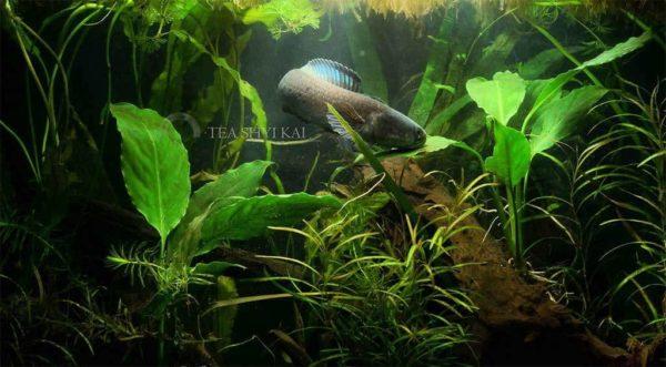 Channa stewartii - Golden Snakehead