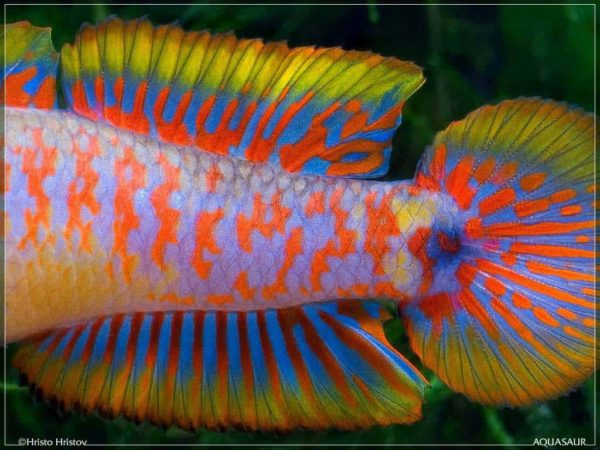Tateurndina ocellicauda - Peacock Gudgeon