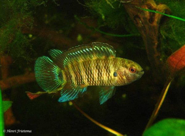 Badis badis - Adult male