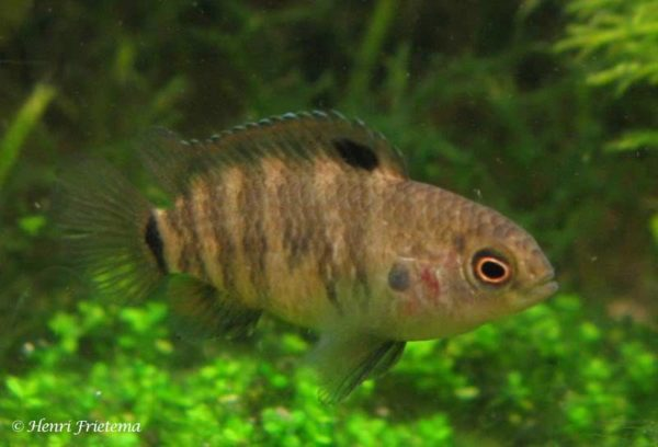 Badis badis - female